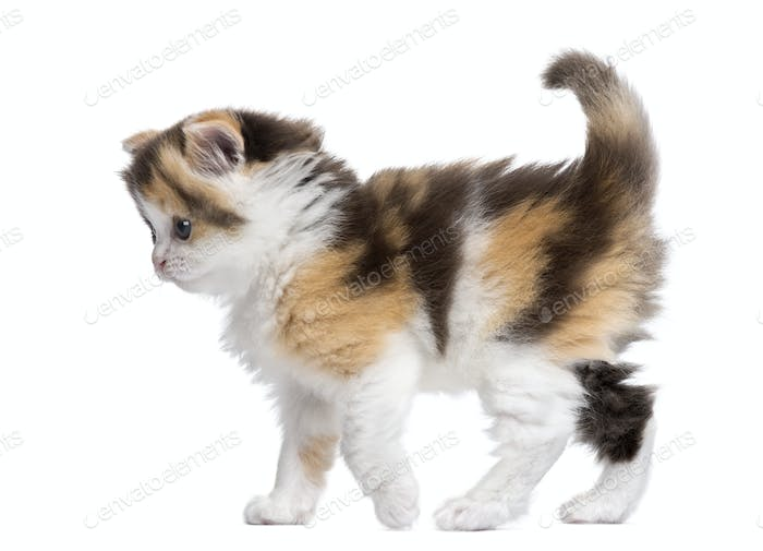 Side view of a Highland straight kitten walking, alert, isolated on white