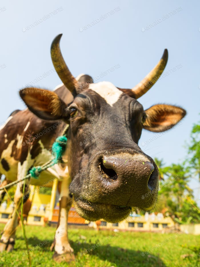 Cow funny face closeup, Ceylon