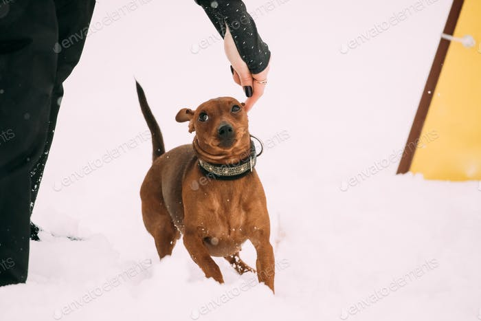 Dog Red Brown Miniature Pinscher Pincher Min Pin Zwergpinscher R