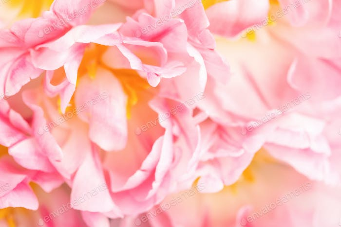 Soft Focus View on Pink peony Tulips. Flower background.