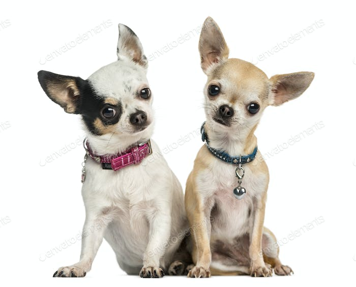 Front view of two Chihuahuas wearing collars