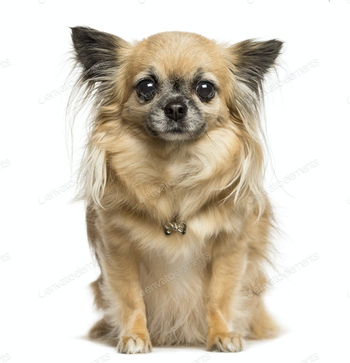 Chihuahua sitting, looking at the camera, 4 years old, isolated on white