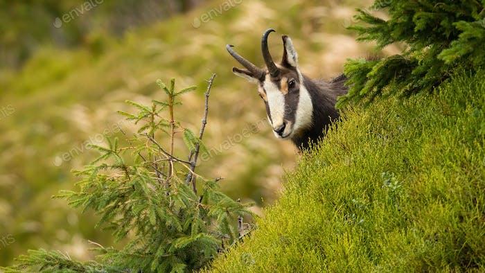 Tatra chamois peeking out of hill in summer nature