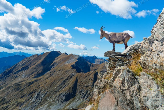 Ibex on rock