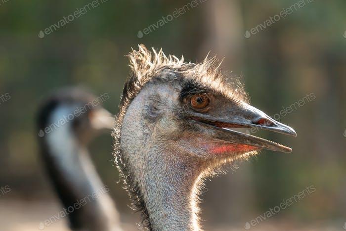 Nahaufnahme des Kopfes und des Halses einer Emu