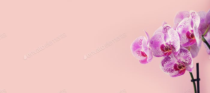 Purple orchid on pastel pink background. Banner with copy space. Spring, woman day concept