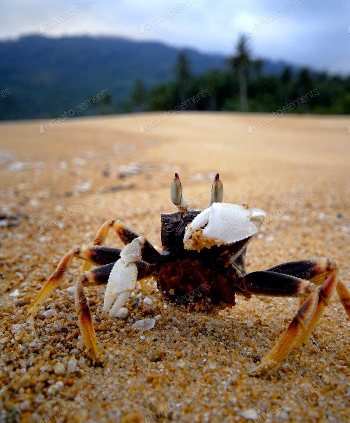 Strand Krabbe