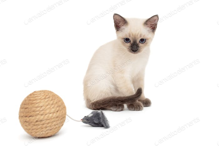 Little Siamese kitten playing with toy