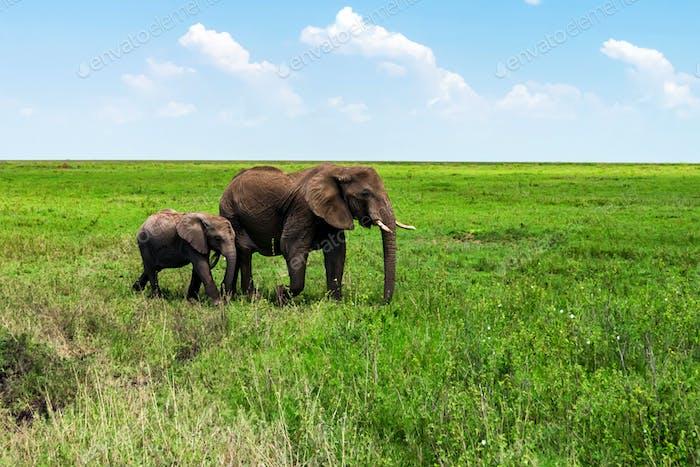 Afrikanische Elefanten oder Loxodonta Cyclotis in der Natur