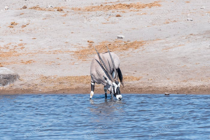 An oryx, Oryx gazella, drinking water in a waterhole