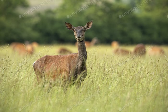 Red deer hind in summer with herd in background