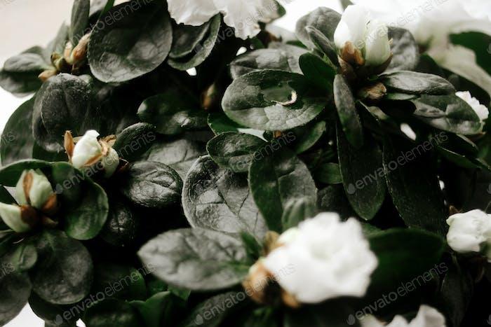 schöne erstaunliche weiße Azalee Pflanze mit Blumen im sonnigen Raum