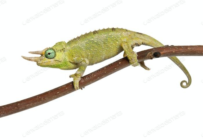 Mt. Meru Jackson's Chameleon