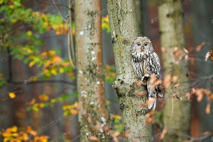 Süße Ural Eule sitzt auf Baum und versteckt sich hinter Blättern im Herbstwald
