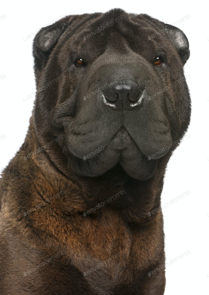Close-up of Shar Pei, 11 months old, in front of white background
