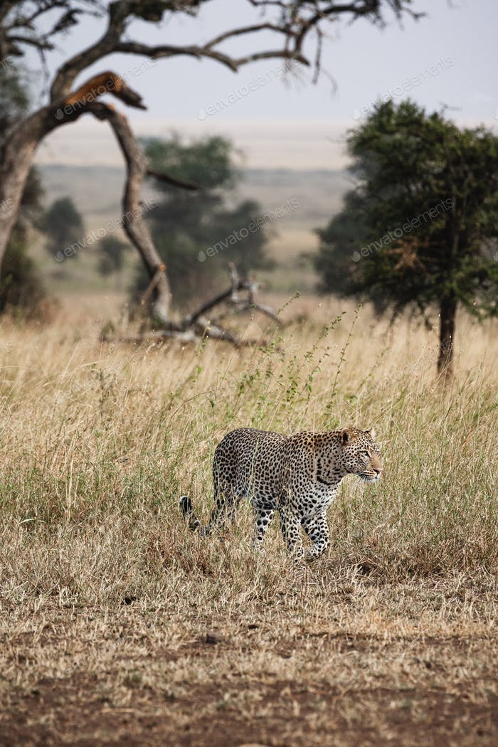 Animals in the wild - Leopard on a hunt in the Serengeti National Park, Tanzania