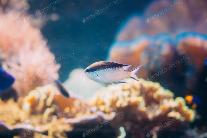 Chromis Viridis Or Green Chromis Ist Spezies Von Damselfish Swimmi