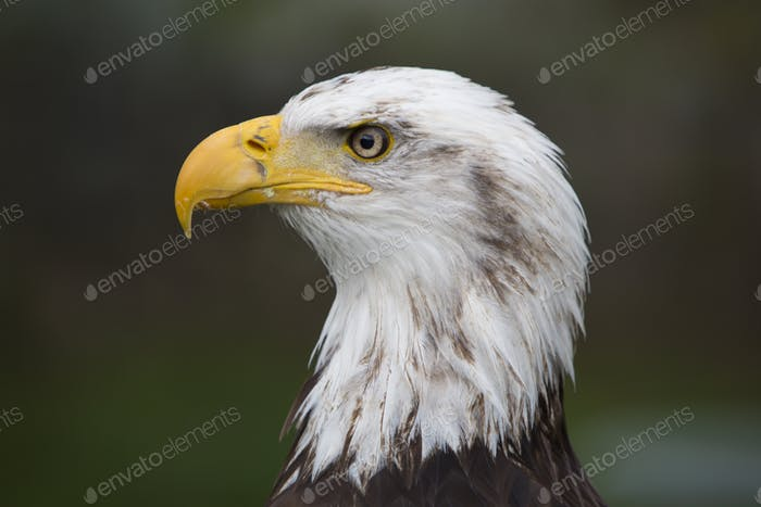 Closeup of an American Bald Eagle in Ecuador