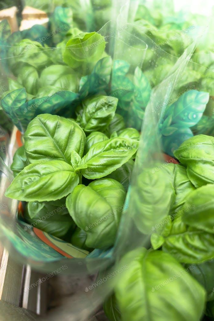 Basil grown in pots