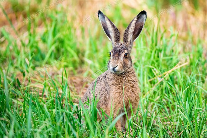 Alert European hare or Lepus europaeus sits in a meadow