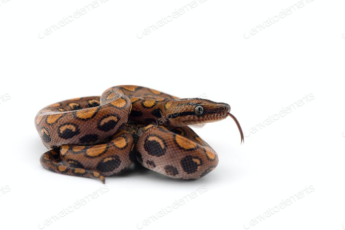 The rainbow boa, snake isolated on white background