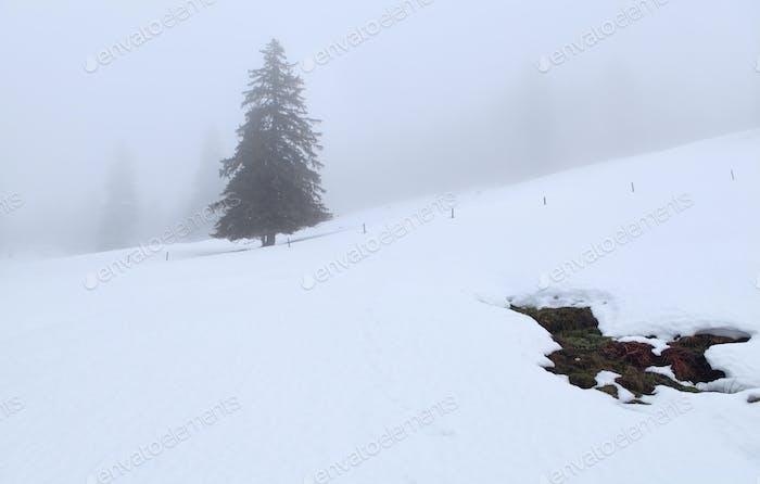 spruce tree on hill in winter