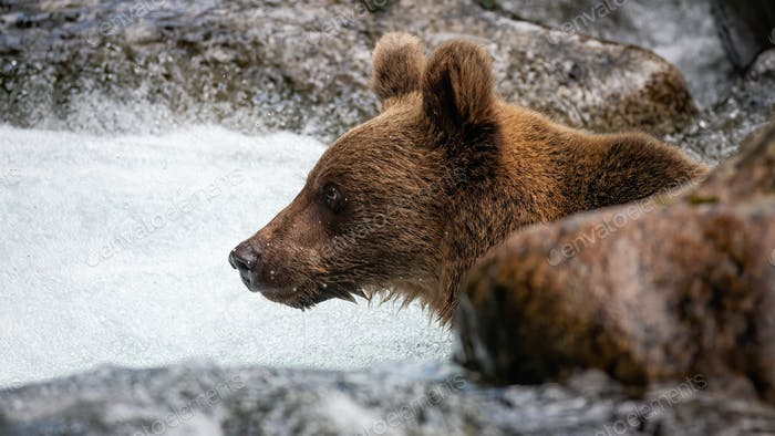 Curious ursus arctos looking ahead in the water surrounded by rock