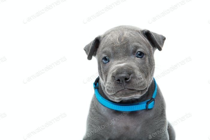 Thai ridgeback puppy isolated on white