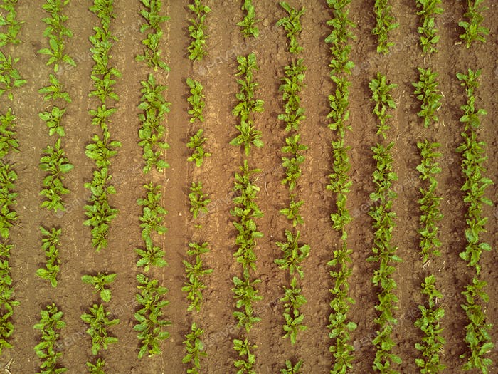 Rows of sugar beet plantation viewed from drone