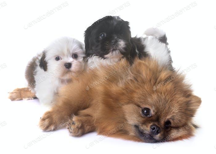puppies shih tzu and spitz
