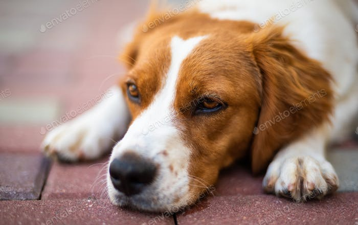 Brittany dog female puppy closeup. Lying down and resting in shade from summer heat