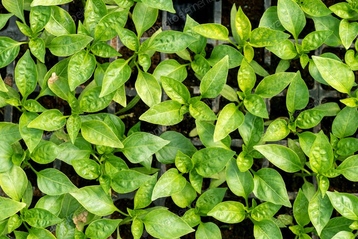 Greenhouse growing seedlings of young pepper plants