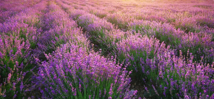 Lavendel Textur.