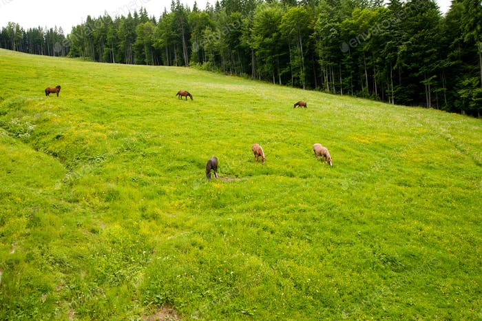 The Horses on the pasture