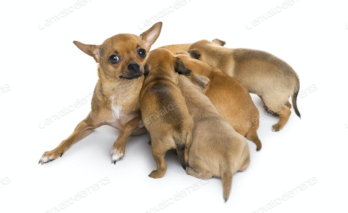 mother and babies chihuahuas
