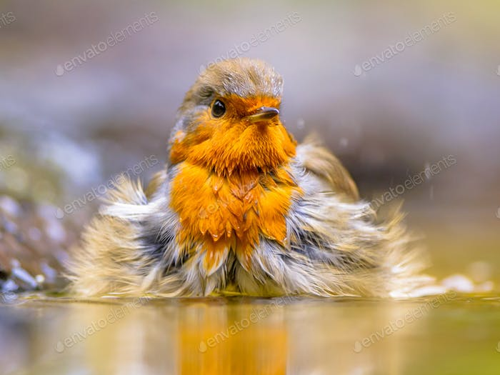 Bathing Red Robin