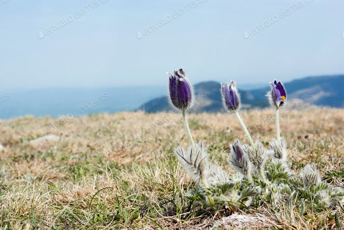 spring flowers growing in beautiful mountains