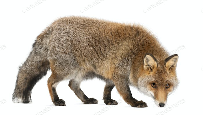 Old Red fox, Vulpes vulpes, 15 years old, walking against white background