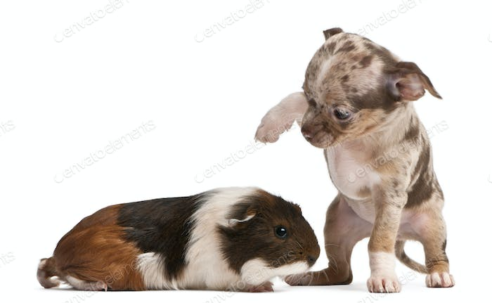 Chihuahua puppy interacting with a guinea pig in front of white background