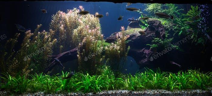 Nahaufnahme auf grünem Süßwasseraquarium