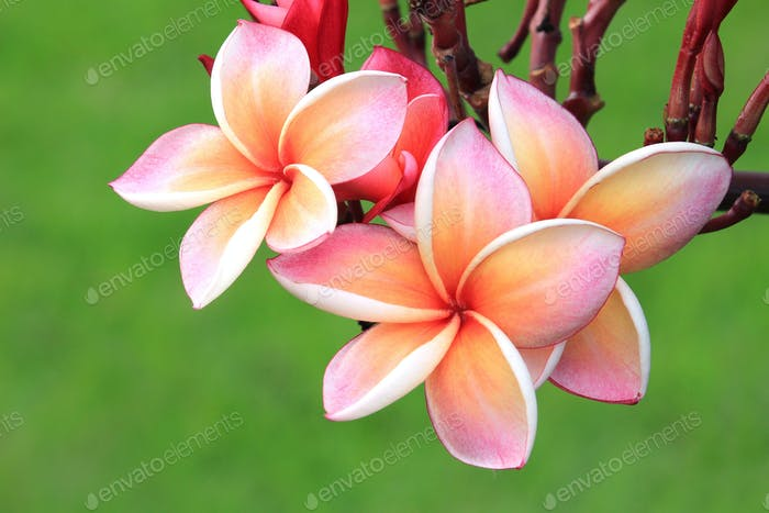 Pink plumeria flower on plant