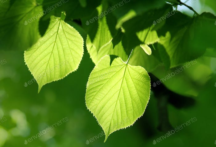 Spring green foliage of linden tree