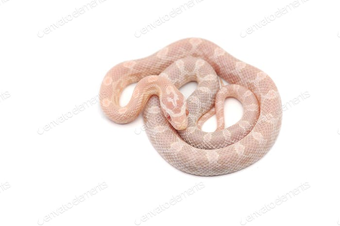 Corn snake isolated on white background