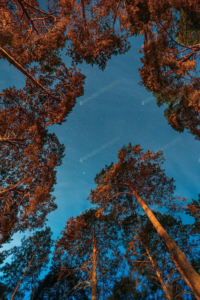 Corona De Pinos Bosques Bajo Cielo Estrellado Noche. Landscap nocturno