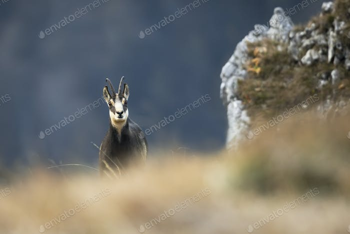 Tatra chamois looking from behind dry grass in autumn