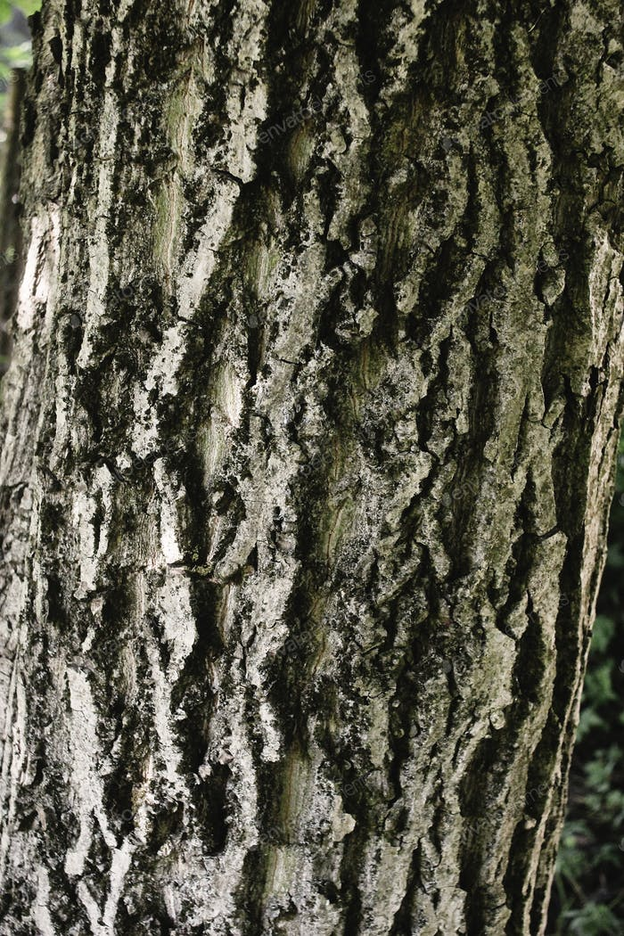 gray bark of walnut tree, textured background or wallpaper