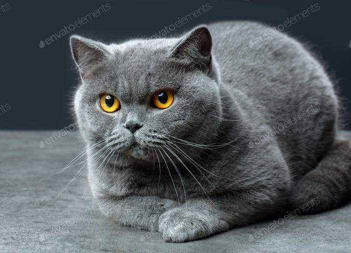 Thumbnail for British shorthair cat