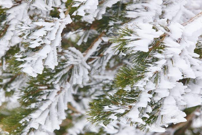 Snow winter nature background. Frozen pine tree detail. Horizontal