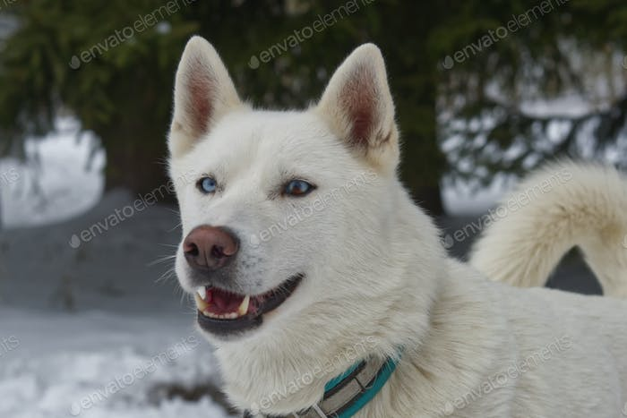 Portrait of husky dog outdoor