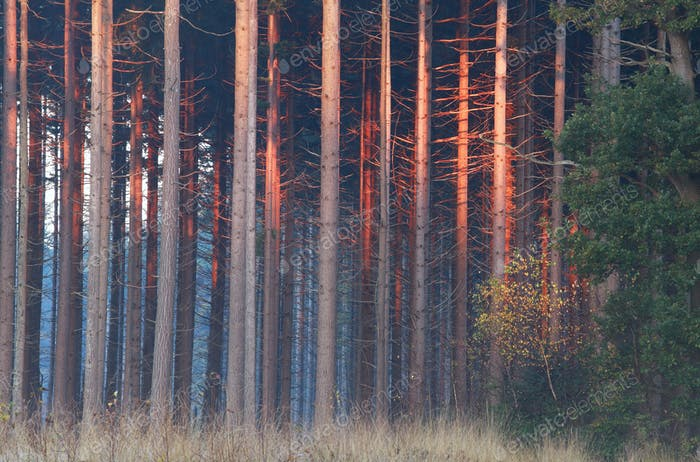 red sunrise light on trees in autumn